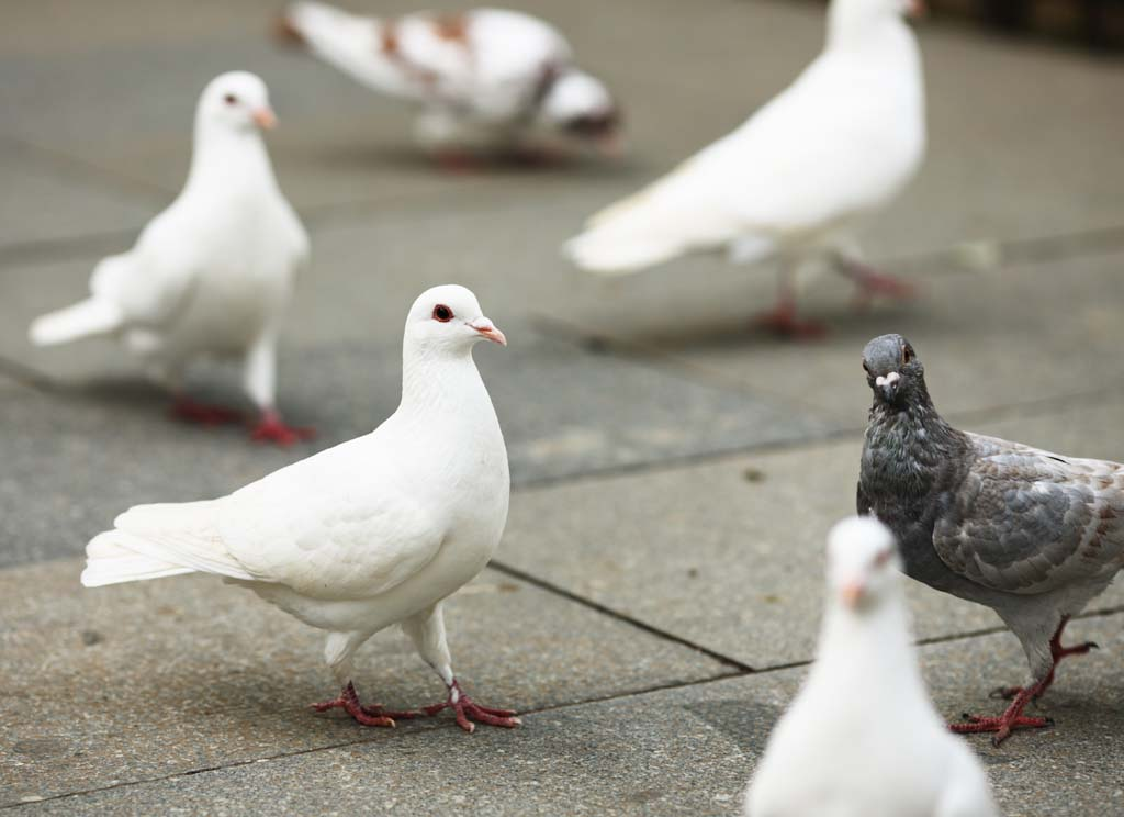 【サムネイル画像】安心せよ。鳩も先延ばしをするという実験結果
